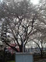 拝島高校桜3