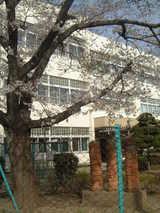 拝島四小桜1