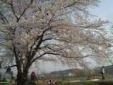 大神グラウンドと桜
