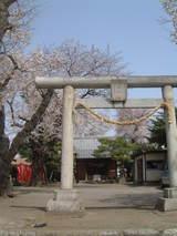 稲荷神社桜3