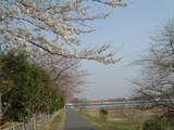拝島橋と桜