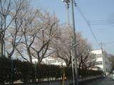 拝島四小桜2