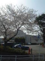 啓明学園桜2