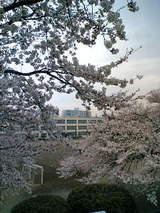 陸橋から光華桜