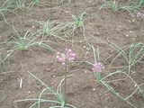 ラッキョウの花