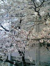 成隣小横断陸橋からの桜