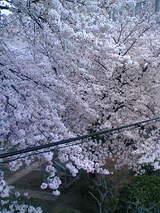 光華小桜3
