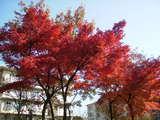 田中町団地の紅葉ベストワン
