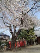 稲荷神社桜2