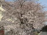 多摩辺中桜1