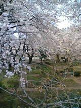 光華小桜2
