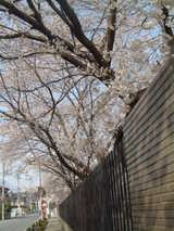 多摩辺中桜2