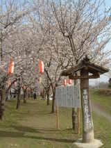 多摩川沿い桜並木1
