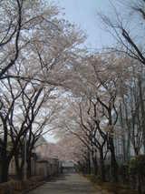 拝島高校桜1