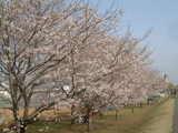 多摩川沿い桜並木3