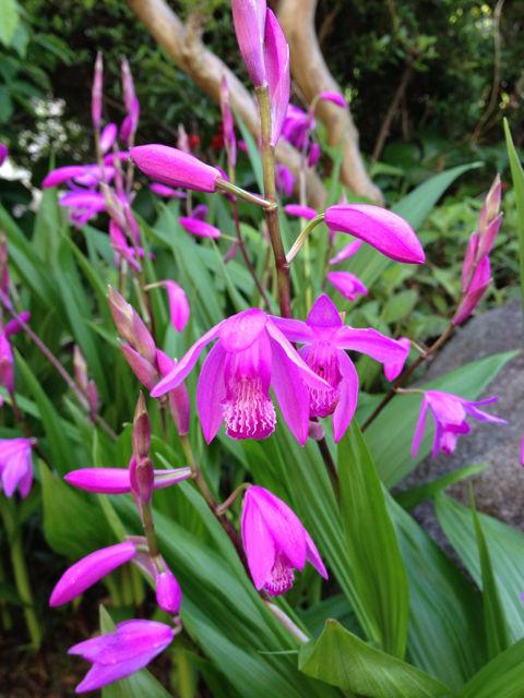 シラン (植物)の画像 p1_29