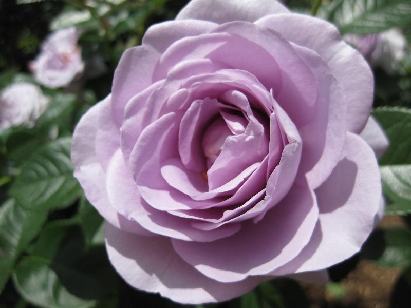 バラの画像 p1_26