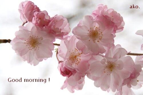 ○桜IMG_8672