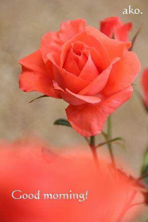 〇バラ春オレンジシルクIMG_9066 -