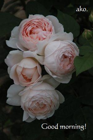 〇バラ・春 アンブリッジローズIMG_0165 (8)