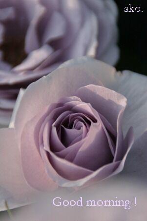 バラ 紫IMG_1849。