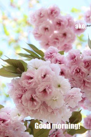 〇桜 造幣局'18IMG_5267