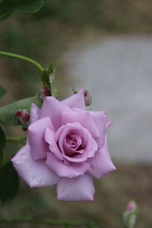 〇バラ春マダムビィオレIMG_2646