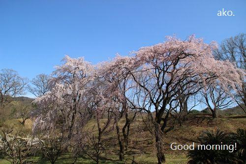 〇桜 '18私市IMG_4205