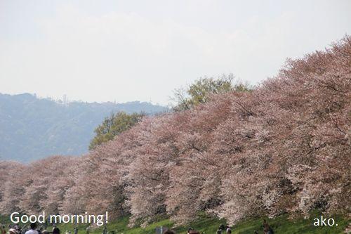 〇桜 '18 八幡 IMG_4505
