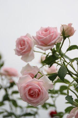 〇バラ春メルヘンケーニギンIMG_2504