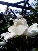 白色のバラ