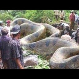 【巨大生物】は?日本にこんなクソデカ蛇いるの?!