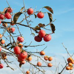 【ヤバい話】「さあ死ぬぞ!」と柿の木を見たら母が首を吊っていた!