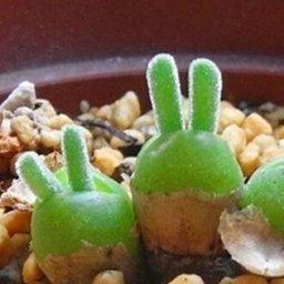 海外「日本は可愛いの本場だから」日本のネットで人気のうさ耳多肉植物に対する海外の反応
