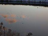 池に移る雲と鴨
