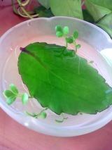birth leaf