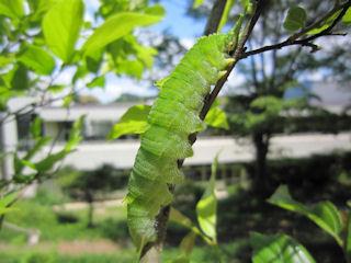 オオムラサキの6齢幼虫