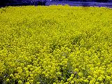 中の菜の花