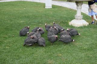 珍しい鶏たち
