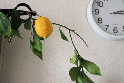 lemon130ms