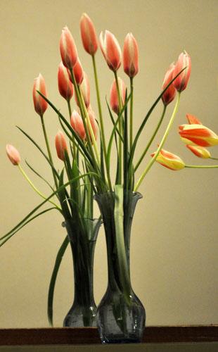 tulip418f_ms
