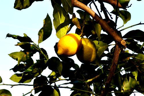 lemon1122ms