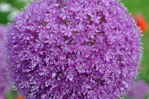 Allium529_ms