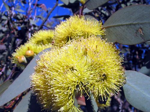 yellowflowering1_m