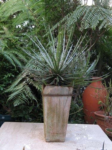 agave326
