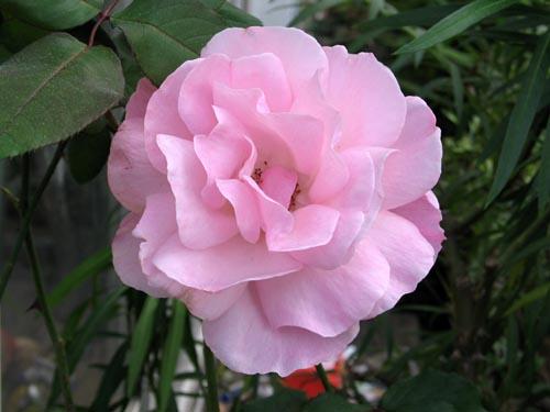 rose1115