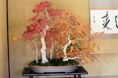 bonsai1125ms