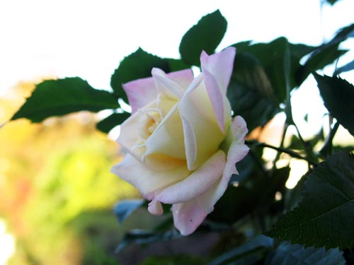 rose1119a