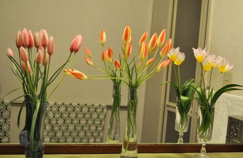 tulip418_ma