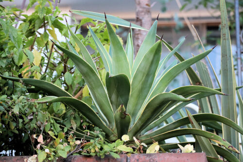 agave1125ms